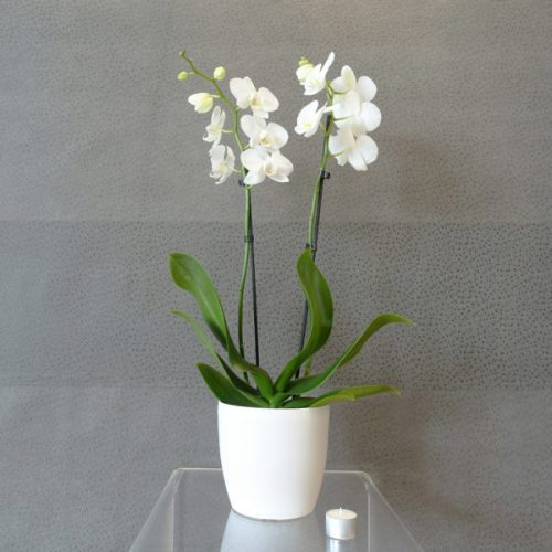 White Orchids by Le Cadeau Bahrain Flowers Delivery