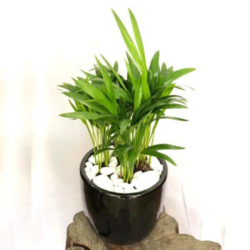 Areca Palm by Heaven Garden Bahrain Flowers Delivery