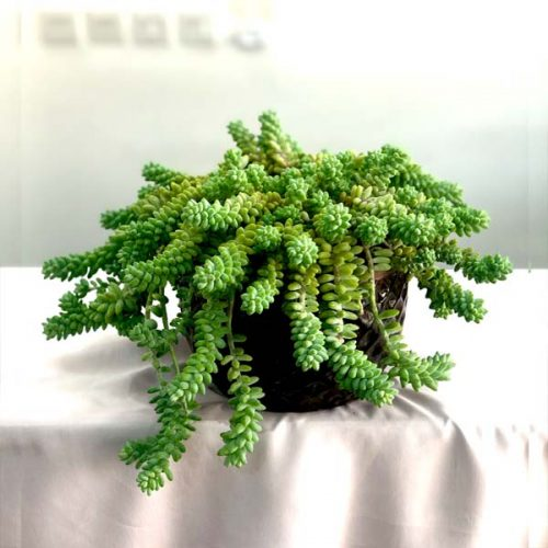 Burro's Tail by Heaven Garden Bahrain Plants Delivery