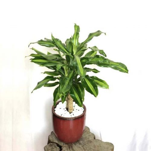 Dracaena Fragrans by Heaven Garden Bahrain Flowers Delivery