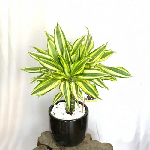Dracaena Golden by Heaven Garden Bahrain Flowers Delivery