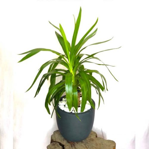 Yucca by Heaven Garden Bahrain Flowers Delivery