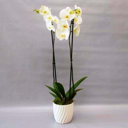 Classy Orchids by Petals Plants Bahrain Delivery