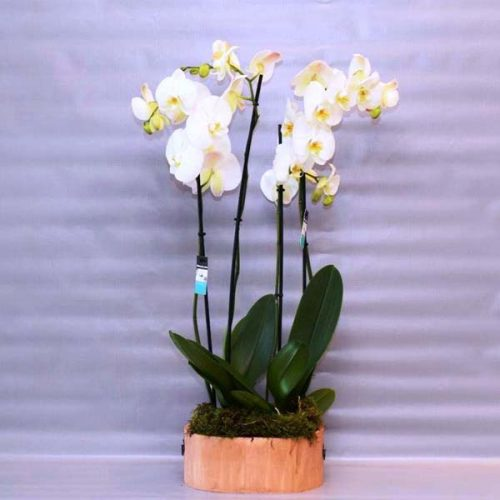 Orchid Vibes by Petals Plants Bahrain Delivery