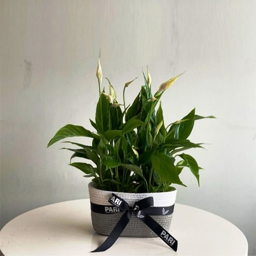 Peace Lily by Pari Plants Bahrain Delivery