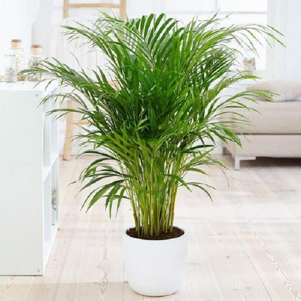 Butterfly Palm By Heaven Garden Plants Delivery Bahrain
