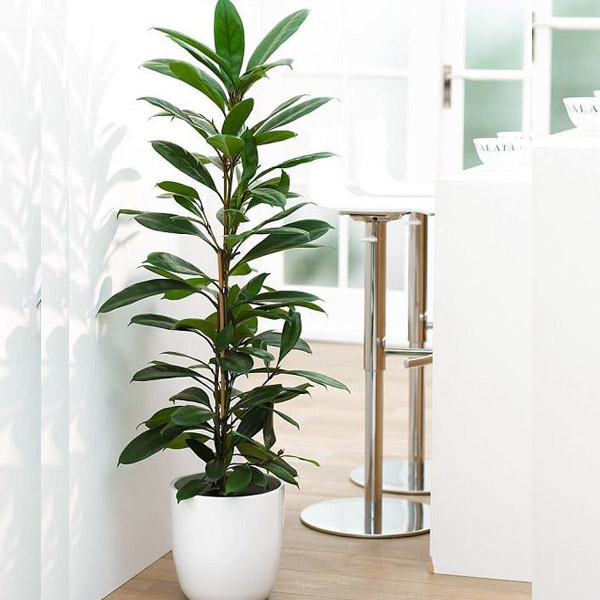 Ficus Cyathistipula By Heaven Garden Plants Delivery Bahrain