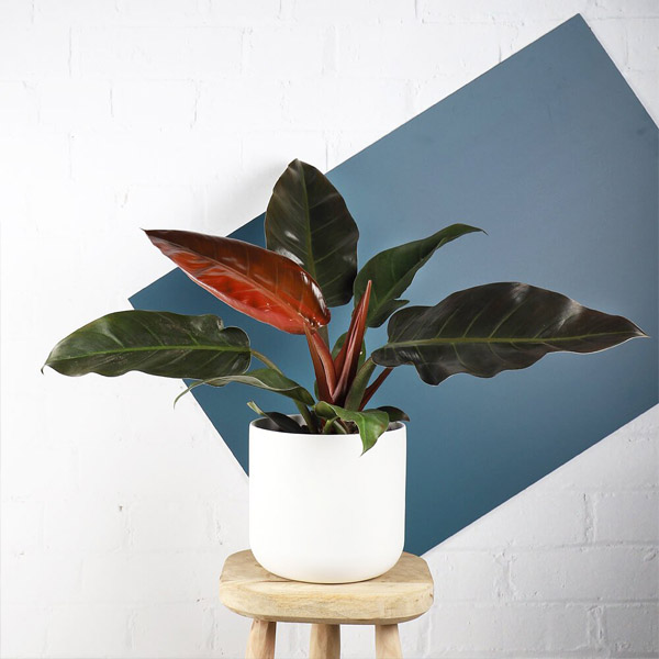 Philodendron Imperial By Heaven Garden Plants Delivery Bahrain